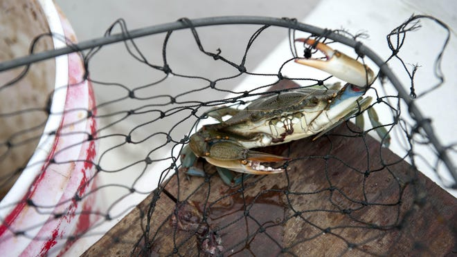 One of the several crabs caught while crabbing in Ludlum Bay in Strathmere last summer. New Jersey law requires the crabs be at least 4.5 inches point to point. Also, pregnant females must be thrown back no matter the size.