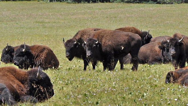 Grand Canyon Seeks Volunteer Hunters For North Rim Buffalo Hunting
