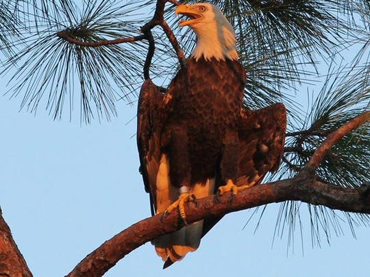 Ozzie the eagle has been sighted back at the North Fort Myers nest he had vanished from for several months.