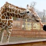 Is April the Giraffe pregnant again? Animal Adventure posts video