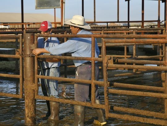 Workers on Airosa Diary in Pixley get cows ready for