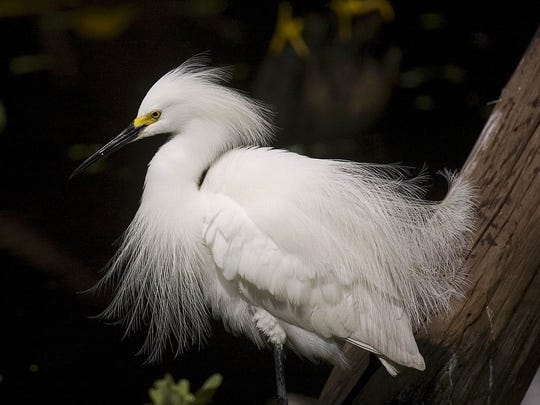 """Snowy egret (Egretta thula):  Length: 24 inches.  Wingspan: 38 inches.  Look for: Black bill, black legs and yellow feet, which has earned them thenickname """"golden slippers."""" Distinguished from great egret by smaller size and distinctive white plume."""