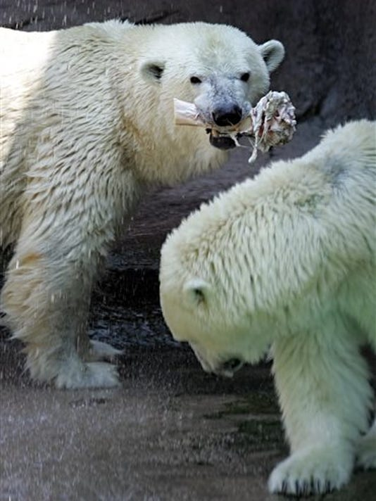 """FILE - In this Aug. 2, 2006 file photo, Polar bear Klondike, left, enjoys a frozen shank bone as Coldilocks stands nearby in the midday heat at the Philadelphia Zoo, in Philadelphia. The Philadelphia Zoo says the oldest polar bear in the United States has died. It says Klondike was 34 years old. Klondike was one of the zoo's two polar bears. The zoo announced on its Facebook page Klondike was euthanized Friday morning, Oct. 23, 2015, due to a """"recent and substantial decline in her medical condition."""" It says Klondike had trouble standing and walking and didn't respond to treatment.  (AP Photo/Matt Rourke, File)"""