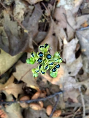 Wild leek seeds, which resemble small berries, will persist through the winter.