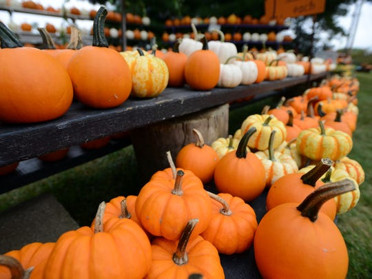 Rows of pumpkins sit on shelves Thursday at Neeley Farms on Mud House Road in Lancaster. Many pumpkin farms in the area have experienced crop shortages due to a heavy rain early in the growing season.