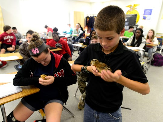 Students Madison Holloman and Brady Moore handle baby chicks in a seventh grade agriculture class recently at Beulah Academy of Science.