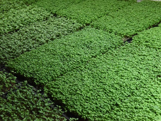 Microgreens growing at Indoor Organic Gardens in the City of Poughkeepsie