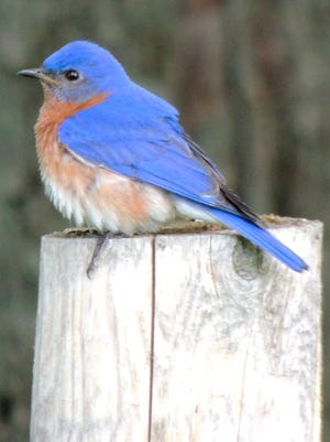 The eastern bluebird is especially fond of mealworms as well as suet filled with berries.
