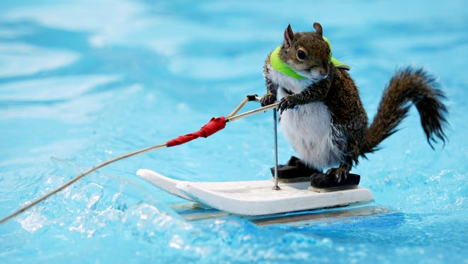 Twiggy the Water Skiing Squirrel.