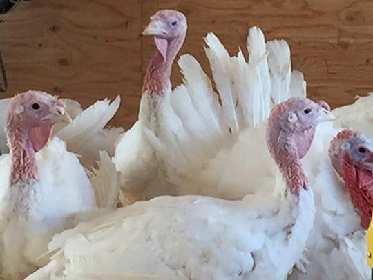 An Iowa turkey will travel to the White House for President