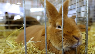 File picture  - A rabbit is pictured on Feb. 27, 2017 at the Agriculture Fair in Paris.
