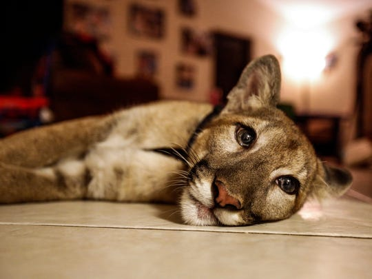 Nala, a 40 pound juvenile Florida panther, lays on