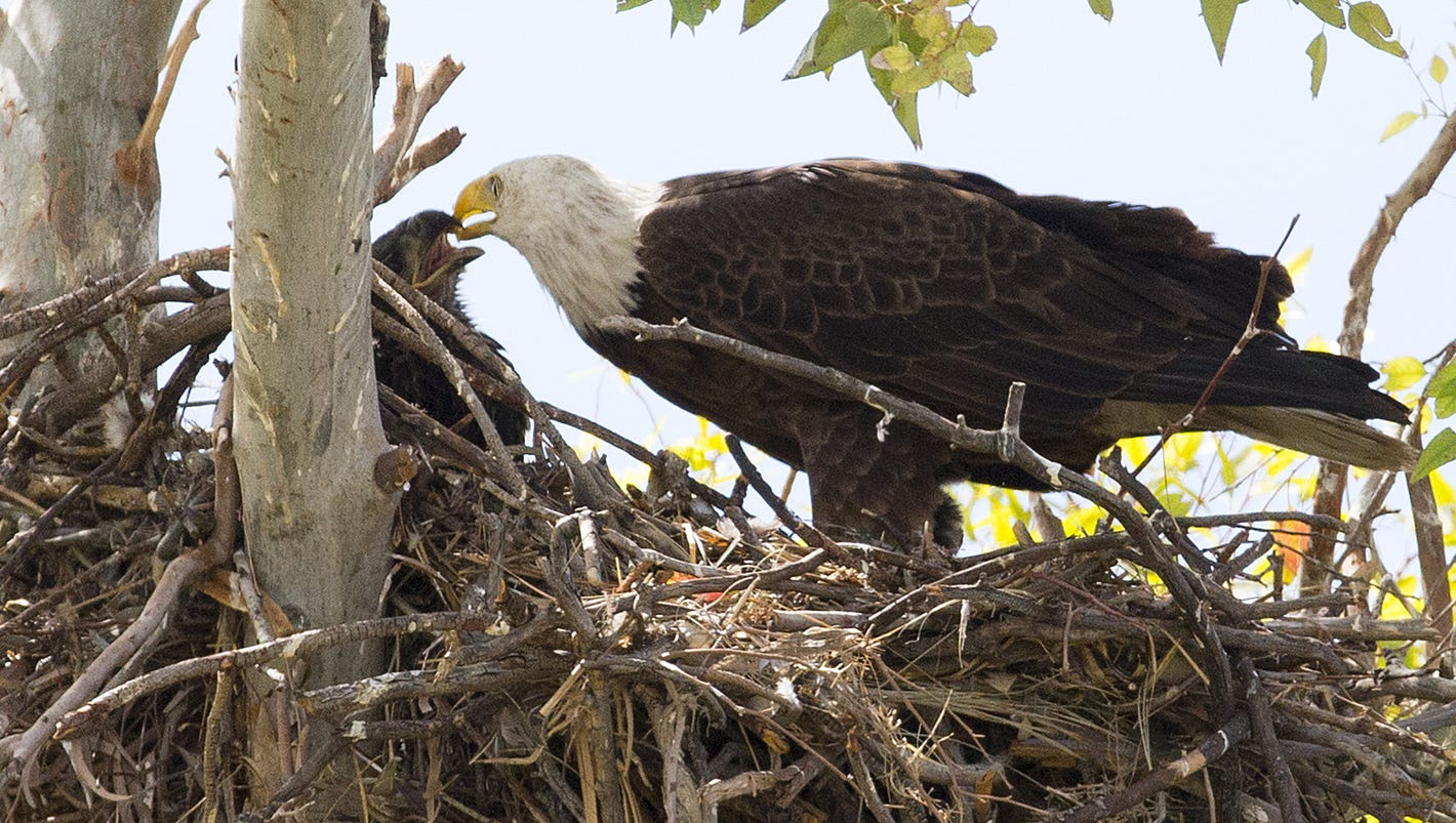 more than just a birdie bald eagles and their hatchlings nest at