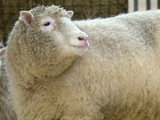 sheep.bur-56t8p35s13k10xtnvqv_original