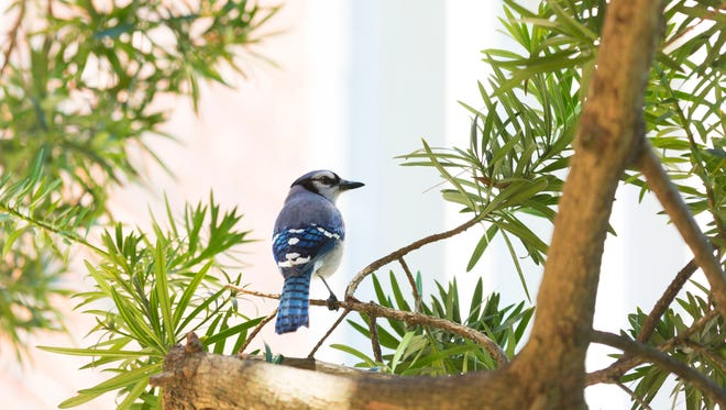 A bluejay perched on a tree. New window treatments seek to prevent bird deaths.