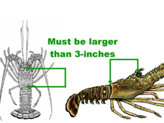 Lobsters body must measure three inches.