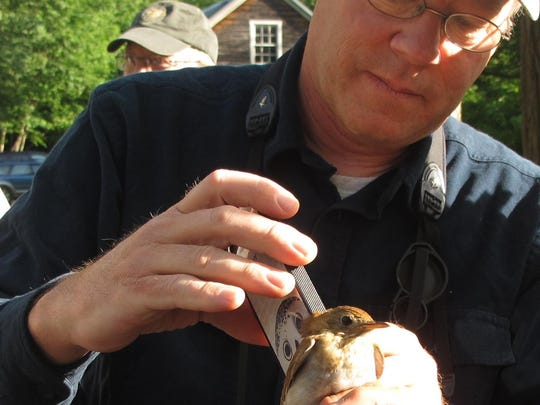 Heart-to-heart: Birder, author and illustrator David Allen Sibley records the heartbeat of a veery captured in mid-June 2015 at the Green Mountain Audubon Center.