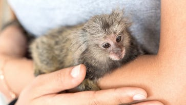 Public Protection Committee unanimously rejects Stevens Point woman's request for pet monkey