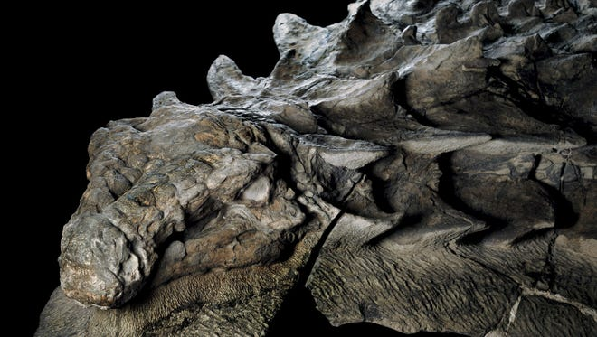 About 110 million years ago, this armored plant-eater lumbered through what is now western Canada, until a flooded river swept it into open sea.