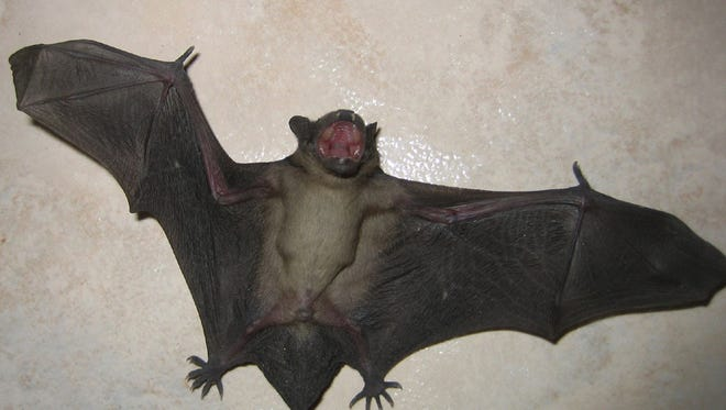 A five-week-old Evening Bat is shown in this photo. Common misconceptions and fears about bats have led many to regard them as unclean disease carriers, when they are actually very helpful in controlling the population of crop-destroying insects.