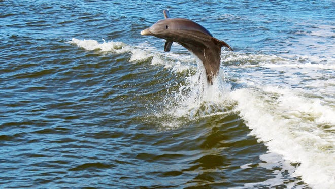 A dolphin jumps in the boat's wake.