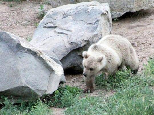 Eva, a baby grizzly bear cub, came from a legal Florida