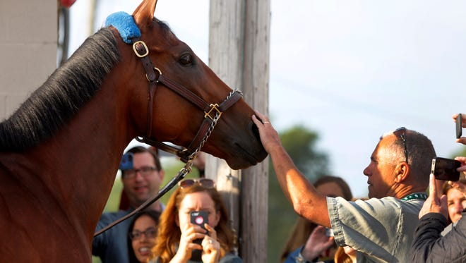 Kentucky Derby winner American Pharoah was patted while meeting the the media at his barn on the moring after his victory.   May 3, 2015.