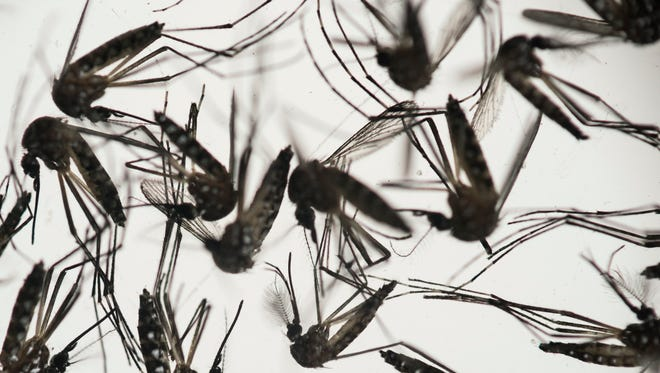 Samples of Aedes aegypti mosquitoes, responsible for transmitting dengue and Zika, sit in a petri dish at the Fiocruz Institute in Recife, Pernambuco state, Brazil, on Jan. 27, 2016.