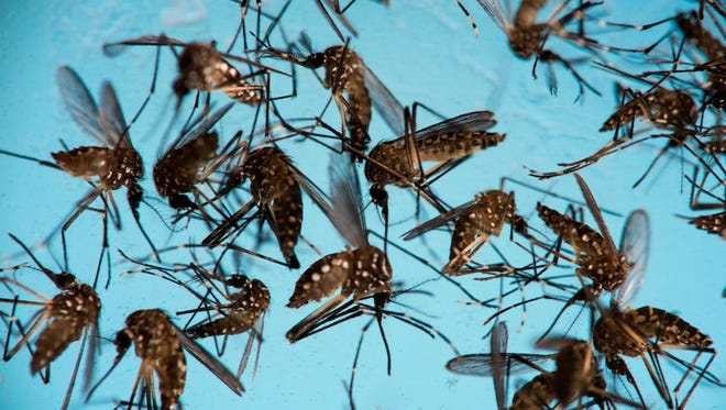 Aedes aegypti mosquitoes, responsible for transmitting Zika, sit in a petri dish at the Fiocruz Institute in Recife, Brazil, on Sept. 29, 2016.