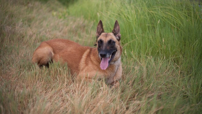 K-9 Ray, of the New Mexico State University Police Department. Ray died on March 21, 2017