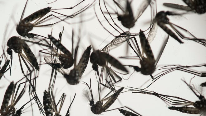 In this Wednesday, Jan. 27, 2016, photo, Aedes aegypti mosquitoes sit in a petri dish at the Fiocruz institute in Recife, Pernambuco state, Brazil.
