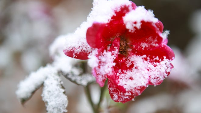 A flower on U of L's campus is dusted with snow following a few inches that fell early Monday morning. Nov. 17, 2014