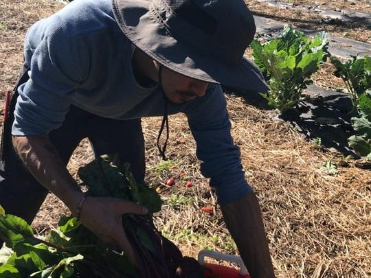 Erick Negron, seasonal farm helper, picks organically-grown