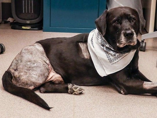 Mackinac, the dog whose leg was partly amputated in