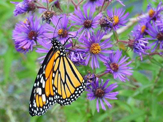 Monarch butterflies are among the species that would
