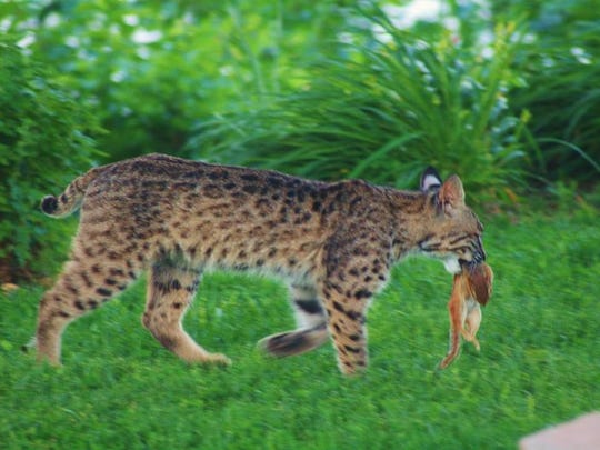 Bobcats are native to Missouri and are sometimes seen