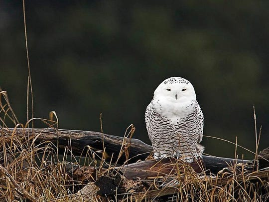 John Vose of Jericho Hills Photography took this shot of A  juvenile snowy owl perches in Ryegate on Dec. 19, 2013. Courtesy John Vose/Jericho Hills Photography.