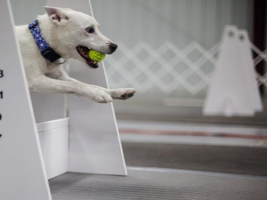 A dog competes at the Stampede Flyball Tournament at the Washington County Fairgrounds on Saturday.