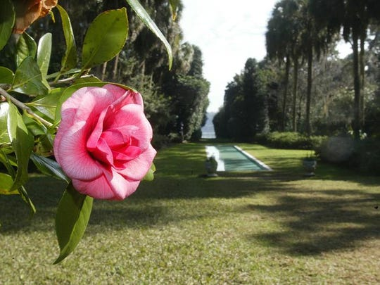 One of the thousands of camellias at Maclay Gardens.