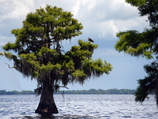 Due to the discovery of a highly toxic algae bloom found in Blue Cypress Lake that was tested and confirmed on Wednesday, visitors and lake residents are being warned not to let their pets drink lake water. Several environmentalists believe the spread of biosolids on nearby pastures helped feed the highly toxic algae.