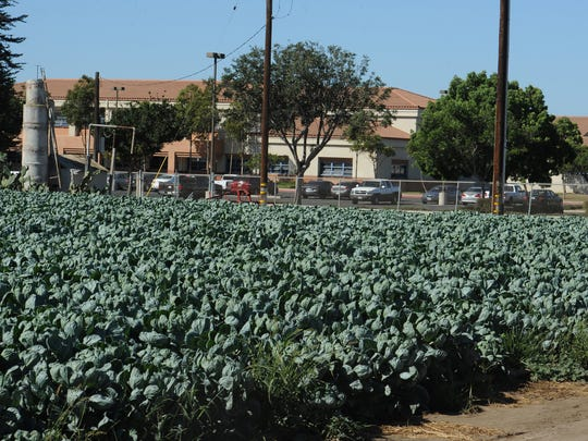 Brussels sprouts grow in field next to Oxnard High