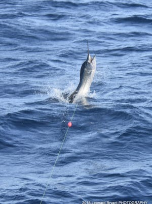 Sailfish action has been very good this summer off Stuart and Fort Pierce.
