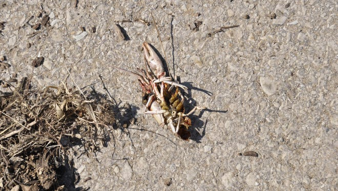 Pictured is one of several dead crayfish littering the boat launch at Cranfield Park. Biologists say it was likely natural environmental conditions that caused the kill.
