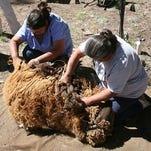 A Navajo Churro sheep waiting to be sheared.