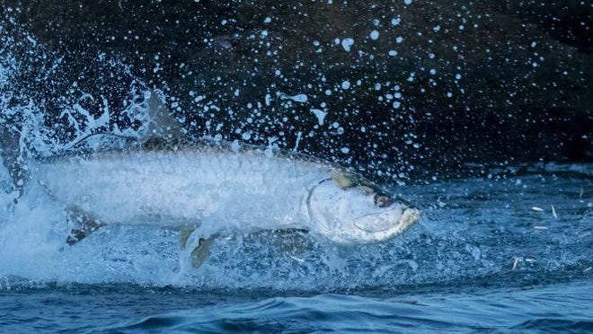 Tarpon were crashing schools of glass minnows last week in Fort Pierce Inlet and this one was caught on the feed midair by Vero Beach angler Joe Rimkus. (JOE RIMKUS/CONTRIBUTED PHOTO)