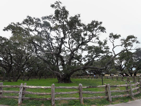 The Big Tree is a live oak and is estimated to be over 1,000 years old. This photo was taken Wednesday, Jan. 13, 2016, at Goose Island State Park in Rockport.