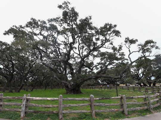 The Big Tree is a live oak and is estimated to be over 1,000 years old Wednesday, Jan. 13, 2016, at Goose Island State Park in Rockport.