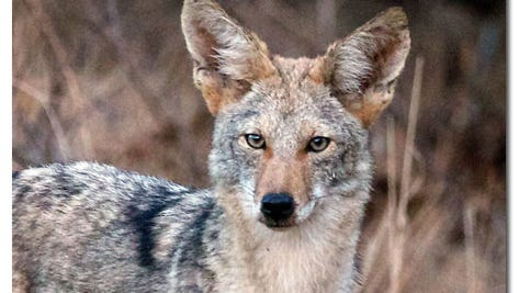 There are few rules regulating hunting and trapping coyotes in New Mexico.