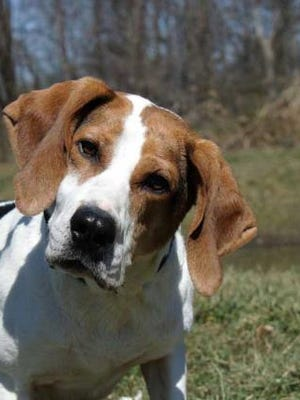 Looking forlorn and hoping for a new home, Bessie the hound dog is one of many dogs and cats up for adoption at the newly expanded Burlington County Animal Shelter.
