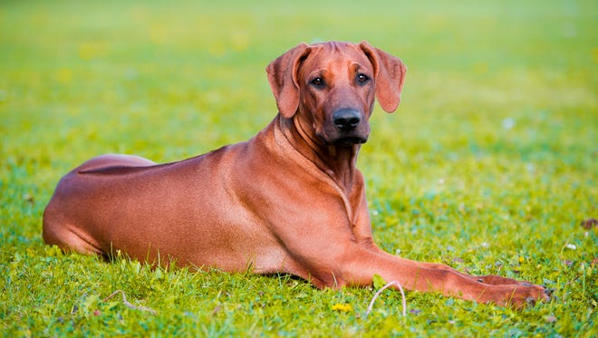 A reader needs help dealing with their Rhodesian Ridgeback dog that gets aggressive around other animals.